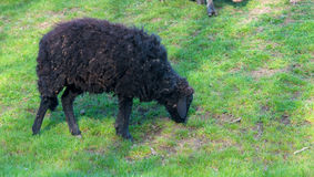 Black sheep eating grass Royalty Free Stock Photography