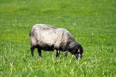Black Sheep Royalty Free Stock Image
