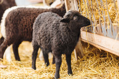 Black sheep eating straw on farm. Dark coat on mutton Stock Images