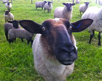 Black sheep face. Sheep with both eyes looking at camera Black sheep face Stock Photography