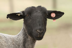 Black sheep face with tags in ear Royalty Free Stock Image