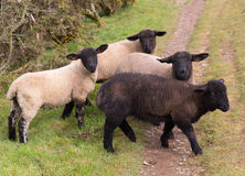 Black sheep of the family Royalty Free Stock Image