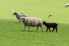 Black Sheep of the Family. Little black lamb follows his mother a Texel ewe in a grassy pasture surrounded by other sheep in rural England stock photo