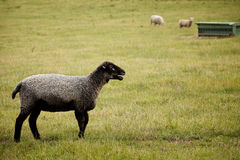 Black Sheep on farm Stock Image