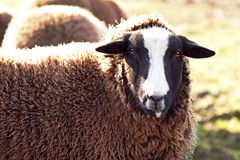 Black sheep in the field Stock Images