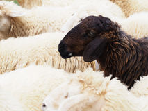 Black sheep in the flock of white sheeps Royalty Free Stock Image