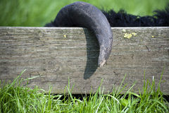 The black sheep got caught horns of the fence. Game of hide-and-seek on the green grass Royalty Free Stock Images