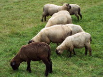 The black sheep. A black sheep graze together with other sheep in a meadow Royalty Free Stock Images