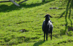 Black sheep on green grass Stock Photography