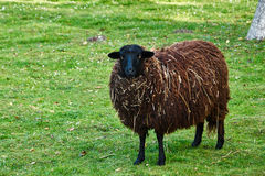 Black sheep on a green meadow. Black sheep standing on a green meadow Royalty Free Stock Image