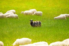 Black sheep. In the herd of white animals Royalty Free Stock Photos