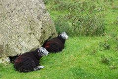 Black sheep at the Honister Pass Royalty Free Stock Photo