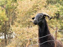 Black sheep with horns in field, in rain Stock Photo
