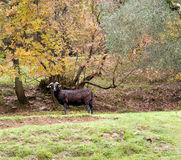 Black sheep with horns in field, on rainy day Royalty Free Stock Image