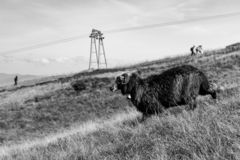 Black sheep with horns grazing on summer hills monochrome. Black lamb with long wool running in filed. Pasture background. stock photo