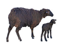 Black sheep and lamb isolated over white Stock Image