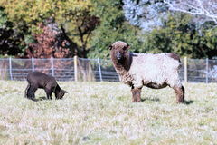 Black Sheep and Lamb Stock Photos