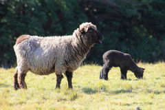 Black Sheep and Lamb Stock Photo
