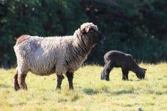 Black Sheep and Lamb. A black sheep and lamb in New Zealand Stock Photo