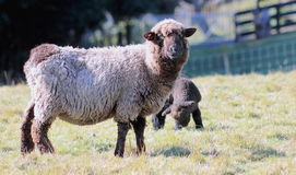 Black Sheep and Lamb Stock Image