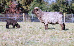 Black Sheep and Lamb Stock Images