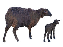 Black sheep and lamb over white Royalty Free Stock Photo