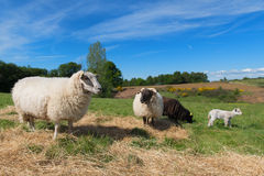 Black sheep with lamb Stock Images