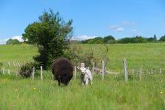 Black sheep with lamb Royalty Free Stock Photography