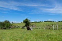 Black sheep with lamb Royalty Free Stock Photos