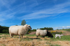 Black sheep with lamb Royalty Free Stock Images