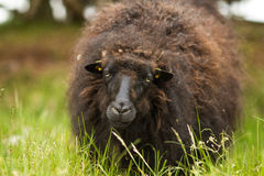 Black sheep looking in the grass Royalty Free Stock Images