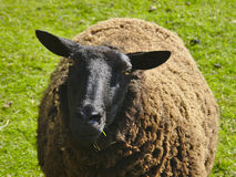 Black sheep in a meadow (ovis aries ) Royalty Free Stock Photo