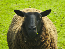 Black sheep in a meadow (ovis aries ) Royalty Free Stock Photography