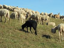 Black sheep in the midst of the flock Royalty Free Stock Photography