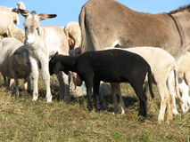 Black sheep in the midst of the flock of sheep Royalty Free Stock Photo
