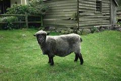 Black sheep. At New Zealand Royalty Free Stock Photos