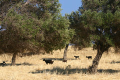 Black sheep in olive grove Royalty Free Stock Image