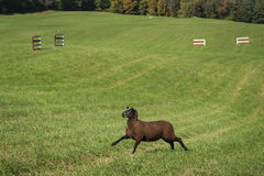 Black Sheep Ovis aries Runs Left in Environment Royalty Free Stock Photo