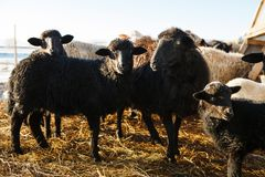 Black sheep in the paddock. a lamb amongst relatives. Agricultural fishery cloven-hoofed cattle. Black sheep in the paddock. a lamb amongst relatives Royalty Free Stock Photos
