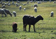 Black Sheep in Pasture in Carson City, Nevada Stock Images