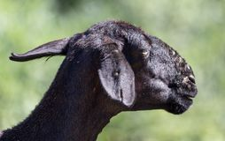 Black sheep in the pasture Royalty Free Stock Photography