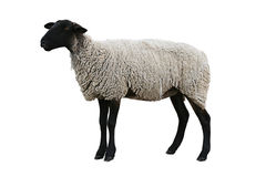 Black Sheep with path. A wooly Black sheep isolated on white with saved a clipping path