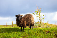 Black Sheep Ram stock photography