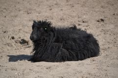 Black Sheep In The Sand Royalty Free Stock Photo