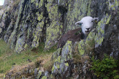 Black sheep sitting on rocks on a hill in the Lake District clos. Image of a black sheep sitting on a rock on a hill in the lake district. Sheep is next to a Stock Images