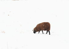 Black sheep on snow Stock Images