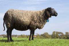Black sheep standing in the grass field. Old black sheep standing alone in the field Royalty Free Stock Photos