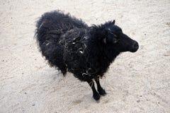 Black sheep Royalty Free Stock Photography