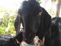 Black sheep Royalty Free Stock Photo
