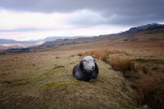 A black sheep with a white face Stock Photography
